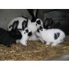 bébés lapins géant papillon pure race - Annonce gratuite marche.fr