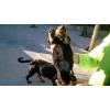 Chiots rottweiler lof