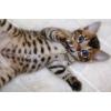 chatons bengal loof - Annonce gratuite marche.fr