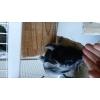 bébé chinchillas mâle - Annonce gratuite marche.fr