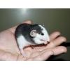 Bébés et jeunes rats à adopter
