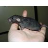 bébés et jeunes rats à adopter - Annonce gratuite marche.fr