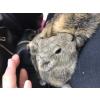 3 cochon d'inde (mâle) - Annonce gratuite marche.fr