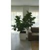 Splendide Figuier Lyre (Ficus Lyrata)