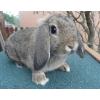 Petite lapine bélier