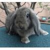 petite lapine bélier - Annonce gratuite marche.fr