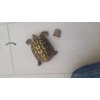Superbe femelle tortue reproductrice