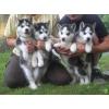Superbes Chiots husky de siberie