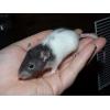 bébés rats / ratons à réserver - Annonce gratuite marche.fr