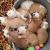 Petite Annonce : A réserver sur une portés de 8 chiots bu - A réserver sur une portés de 8 chiots bulldog anglais 4 femelle,4