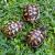 Petite Annonce : Vend bébés tortues 2017 - Bonjour je vend des bb tortues hh de souches varoises ... à 70€ l\'