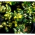 Petite Annonce : Arbuste persistant fusain sunspot - Vend un arbuste persistant panaché dans un pot à venir chercher sur